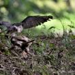 今日の野鳥  サシバ ・ オオタカ ・ チゴハヤブサ ・ ツミ ・ ノスリ ・ ミサゴ