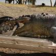 オーストラリアで体長5.2mの巨大ワニ、射殺される。