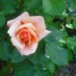 バラ開花一番乗り アプリコットキャンディー