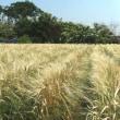街ごよみ なう/刈り取りを待つ黄金麦畑