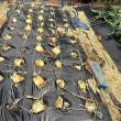 玉ネギ収穫