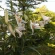 ササユリの花が増えました