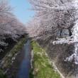 三沢川で花見