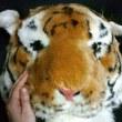 トラさんの大きなお顔★タイガーヘッド★