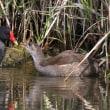 遊水池のカワセミ&バンの幼鳥