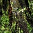 まだ勢い衰えず・・メタセコイアの雄花のツボミ?