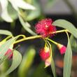 アガベとユーカリの花
