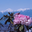 石楠花と残雪