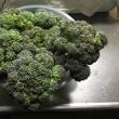 本日の収穫「ブロッコリー」「白菜菜」「菜花」