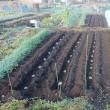 畑へ植え付け完了です。