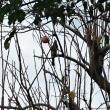 冬の風景 柿の実にヒヨドリ
