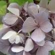 アジサイの花は色落ち
