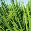 今年の米の作柄は?