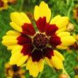 似ている花 「ハルシャギク ・ ルドベキア」