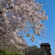 舞鶴公園の桜からp5