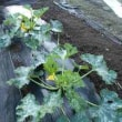 カボチャ雪化粧と栗坊?、紫コールラビの植え付けとひまわりの種蒔き