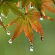 『初紅葉』 雨なれば
