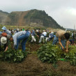 きみつ枝豆収穫祭