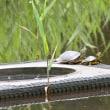 日本三大カキツバタ自生地の一つ小堤西池