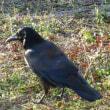 庭の隅で、こっそり小鳥の餌を食べるハシボソガラス