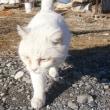 白い野良猫の白のらちゃんにドライフードを持って行ってあげた Gave the cat dry food