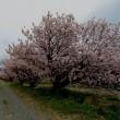 春めき桜の並木道
