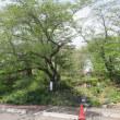船岡城址公園のサクラ180422