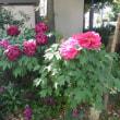 ☆ 牡丹(ボタン)の花が咲く頃