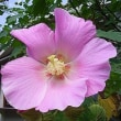 季節の花「芙蓉 (ふよう)」