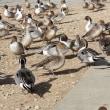 ガバ沼の鴨達