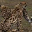 チーター Cheetah/ケニア Kenia 2