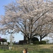 桜が満開(だった)、、