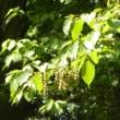 キブシの枝に実ができている