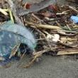 青い風船のような生物が大発生!湘南海岸に警報!!