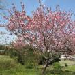 くノ一桜 咲く