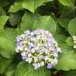 5月30日(水)紫陽花咲く