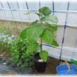 京黒山のハウスの中の野菜と採れたて野菜