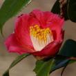余寒と椿の花