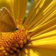 腫柄菊と裏波小灰蝶