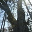 巨樹・巨木 その6