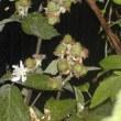 ブラックベリーの花&青い果実