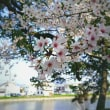 4/1 お城の桜