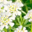 春の庭・・・白いグランドカバー・・・イベリスが咲きました