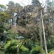 ソメイヨシノは接ぎ木でなければ増やせない