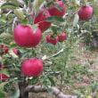 酸っぱいりんご 紅玉