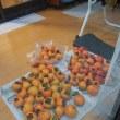 しぶ柿の収穫まつり!