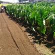 関根農場の里芋・やつ頭芋畑の草取りと追肥及び土寄せに出掛ける。