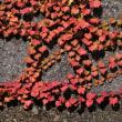 大堂津海岸の防波堤の壁の蔦の葉も紅葉していました。(Photo No.14390)