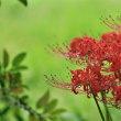彼岸花(葛城古道)と笠蕎麦の花