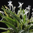 フウラン 山採り縞の花
